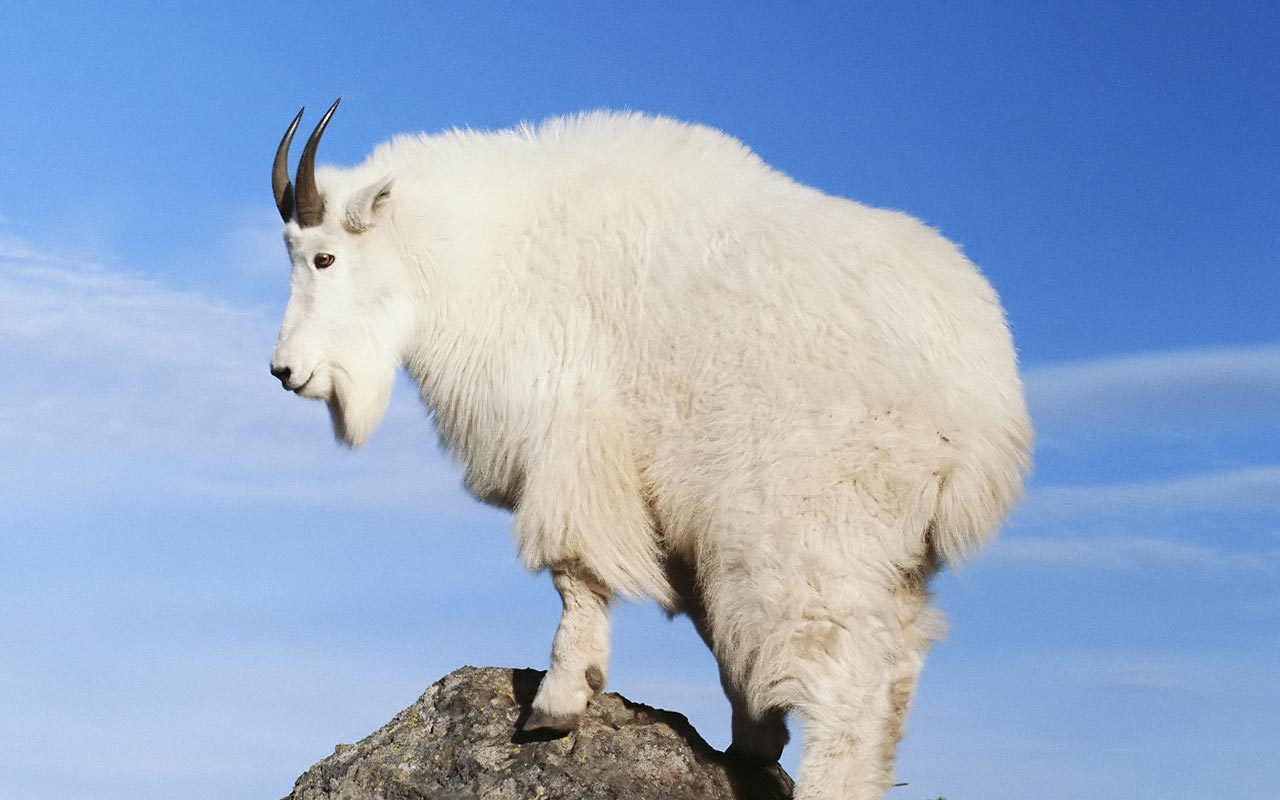 Mountain Goat Wallpaper
