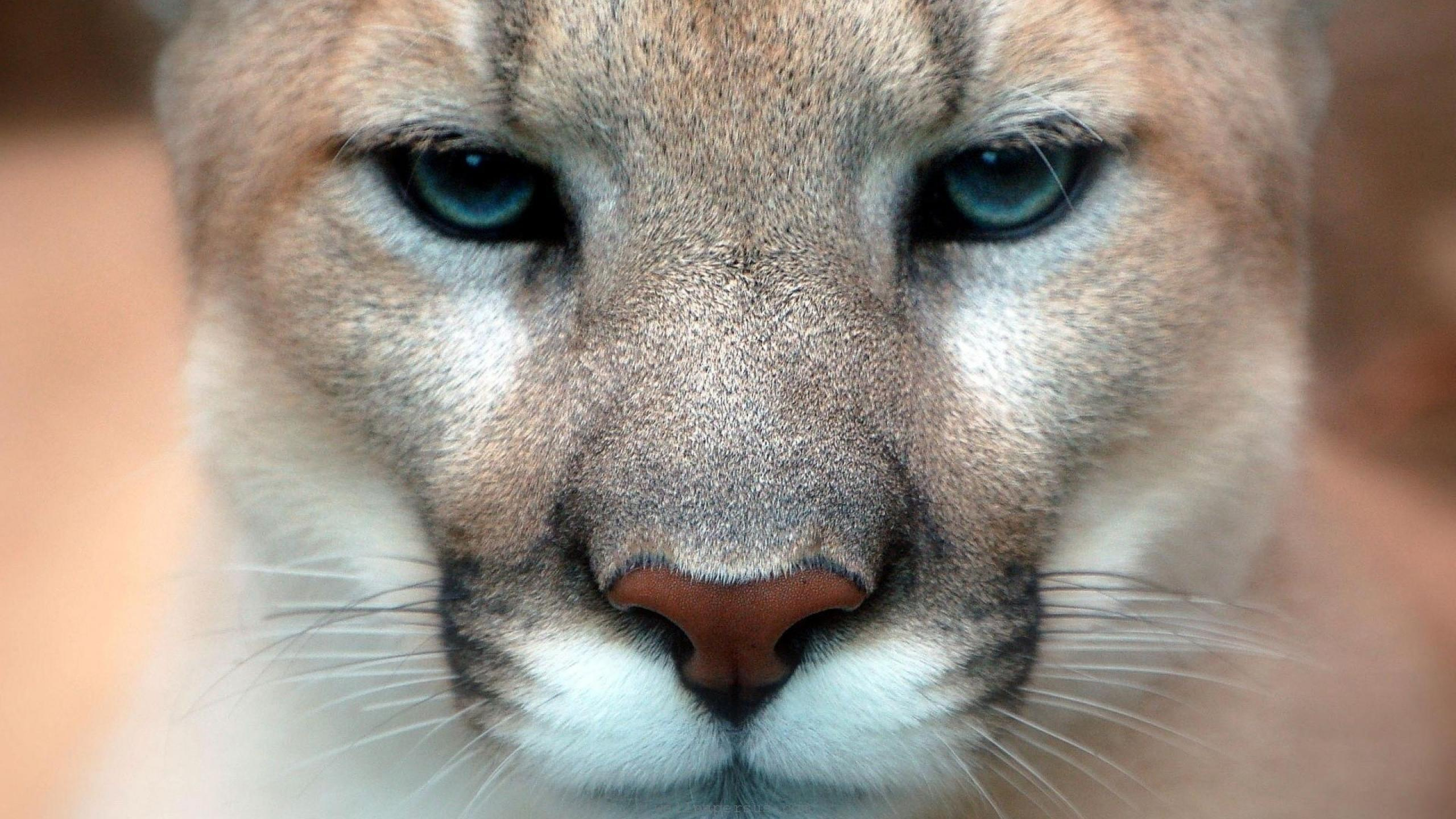 Best mountain lion wallpaper