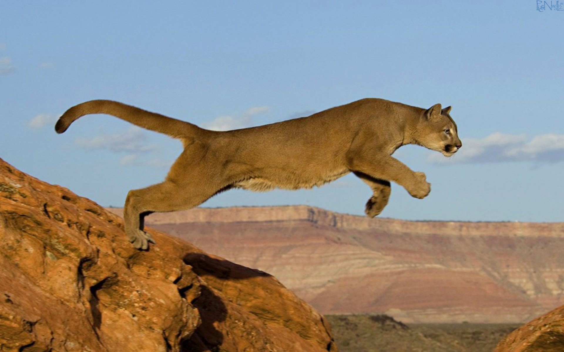Mountain Lion Jump Wallpaper Wallpapers Best Desktop 1920x1200px