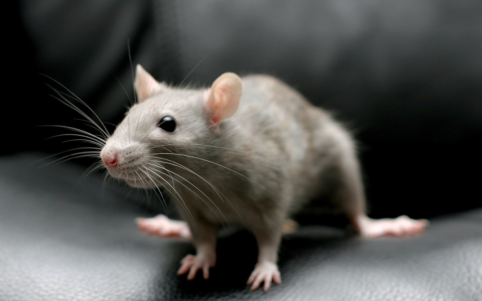 mouse animal high quality new wallpaper
