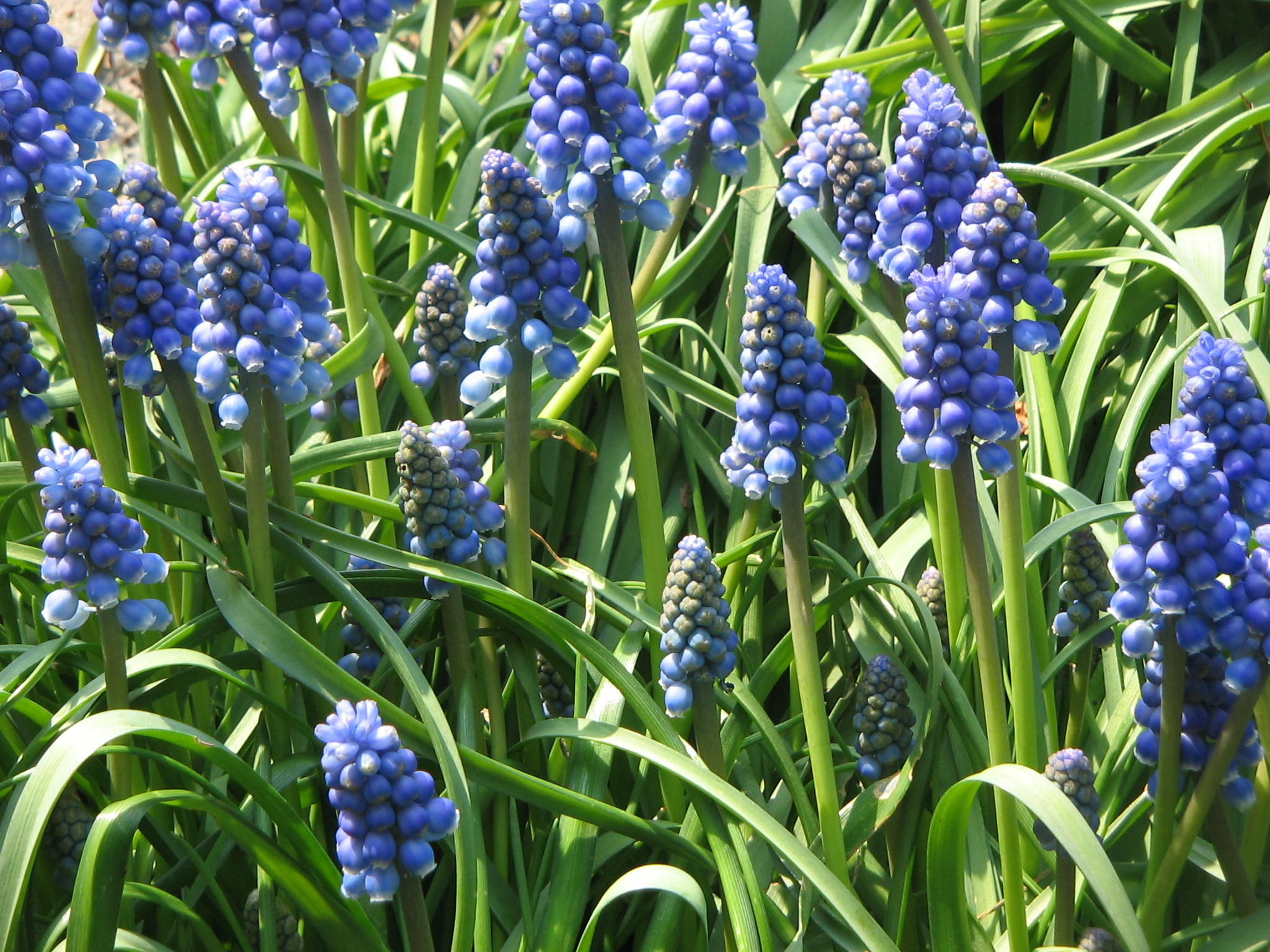 File:Muscari armeniacum clump.jpg