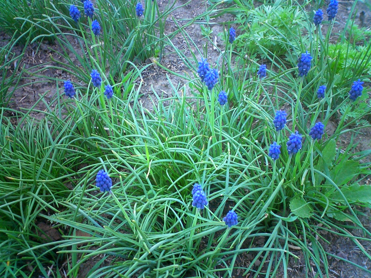 File:Muscari armeniacum.jpg