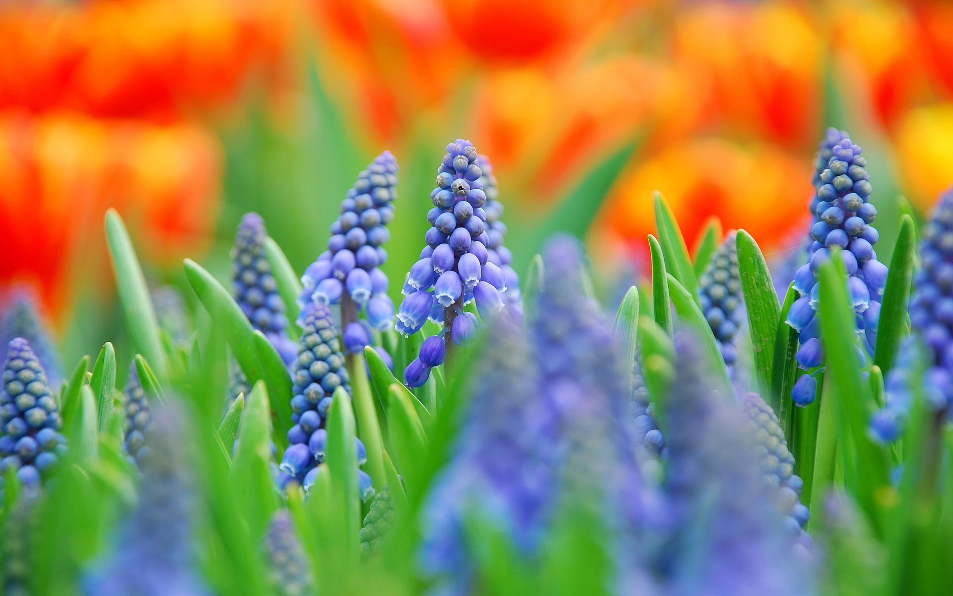 Muscari flower