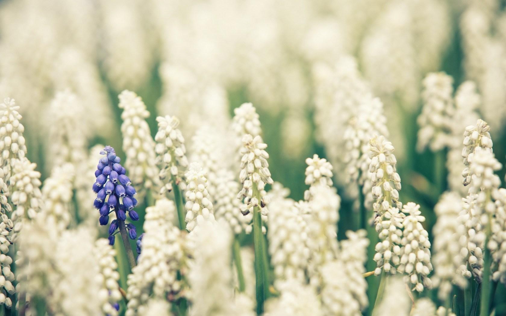 Muscari Flowers Field Nature