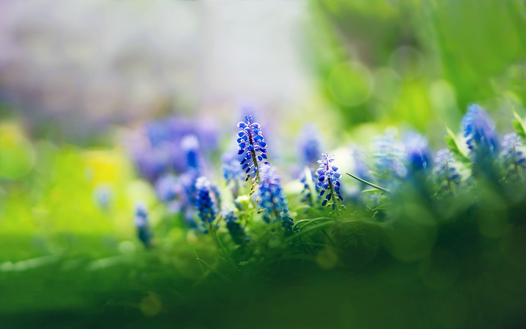Muscari Flowers Focus Nature