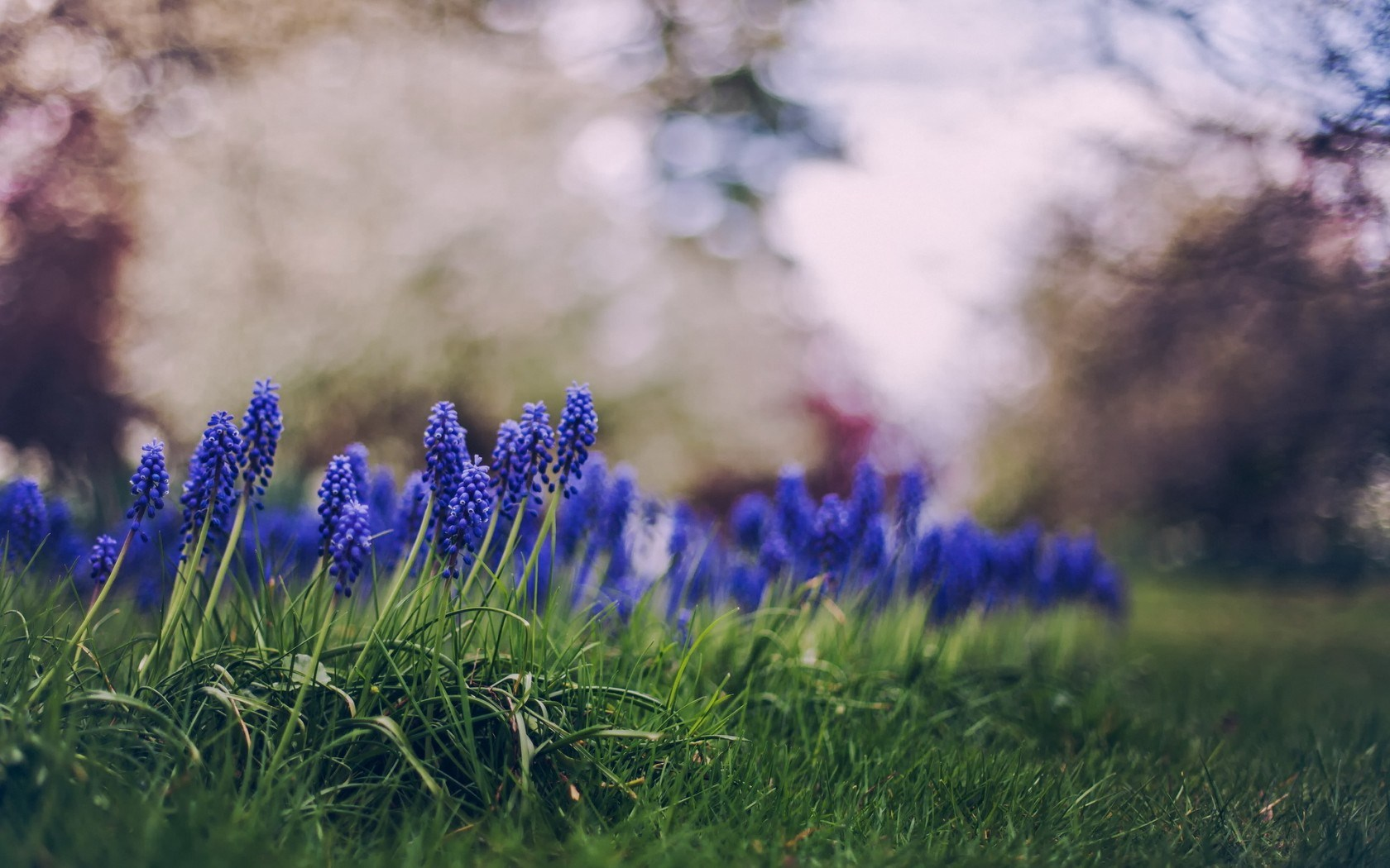 Muscari Flowers Spring Nature