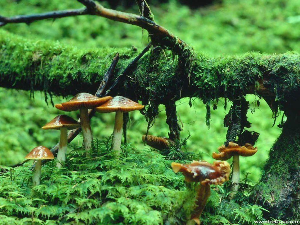 ... mushroom-wallpapers ...