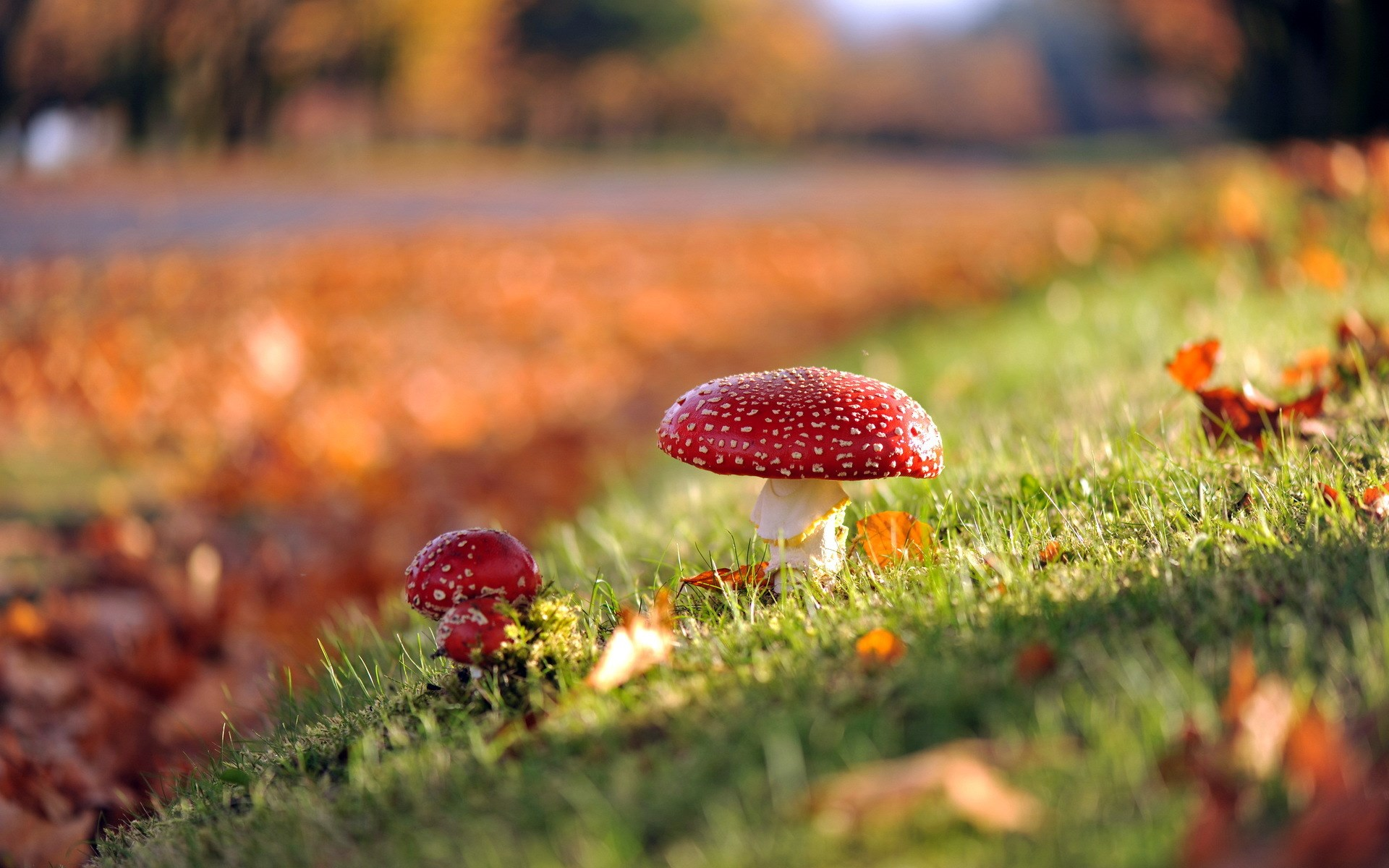 Mushrooms Nature Autumn wallpaper ...