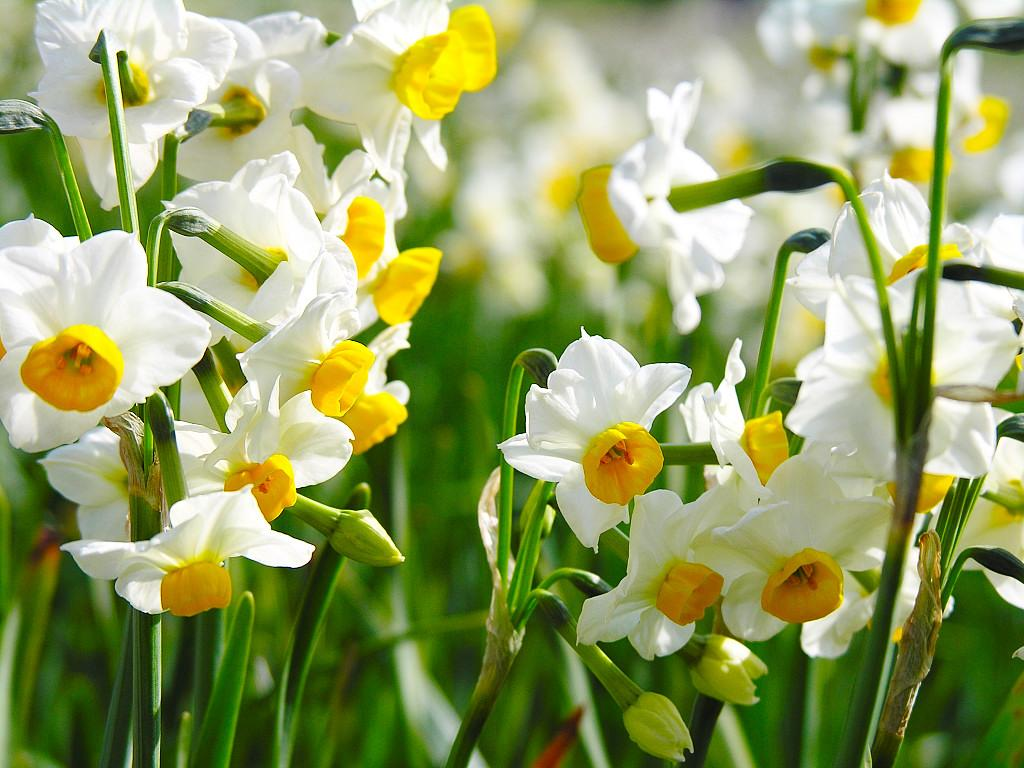Narcissus flowers pictures. The daffodil is the national flower of Wales. The Narcissus flower is perceived quite differently in the east than in the west.