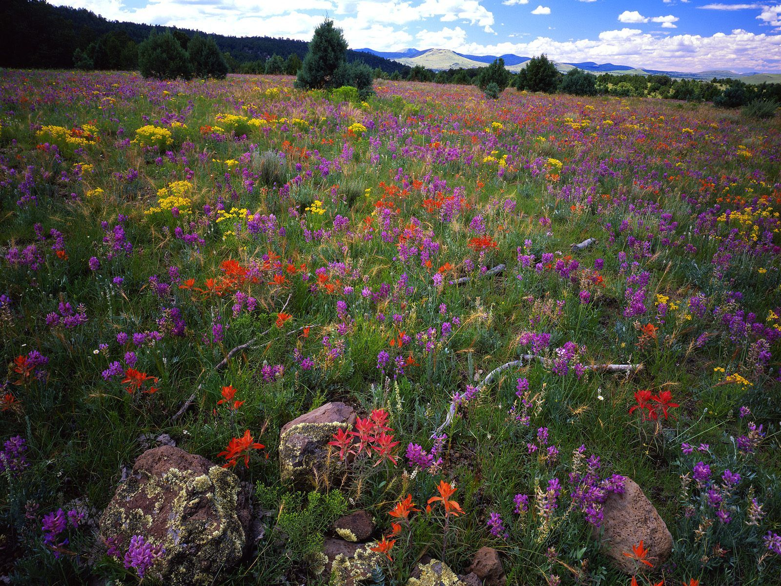 Field of flowers on the Apache-Sitgreaves National Forest
