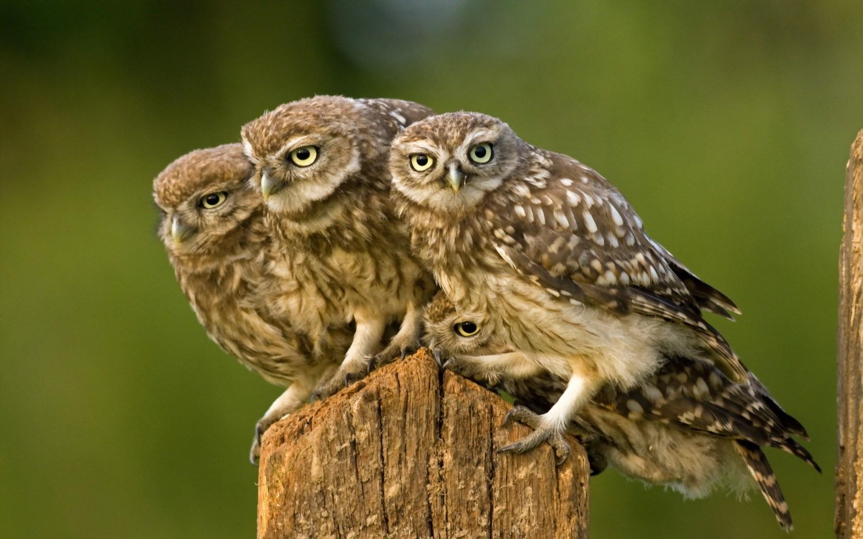 Nature Birds Owls HD Wallpaper