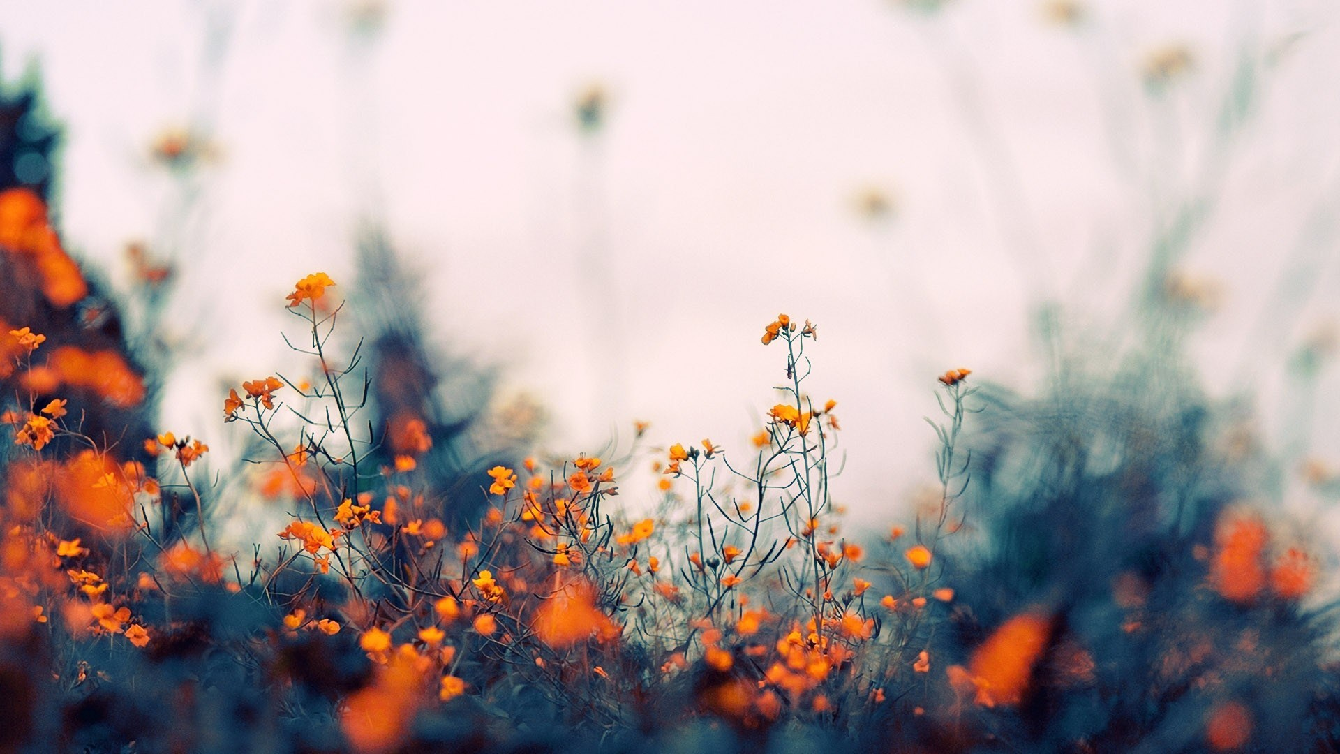 orange flowers field focus bokeh nature wide hd wallpaper is a lovely background.