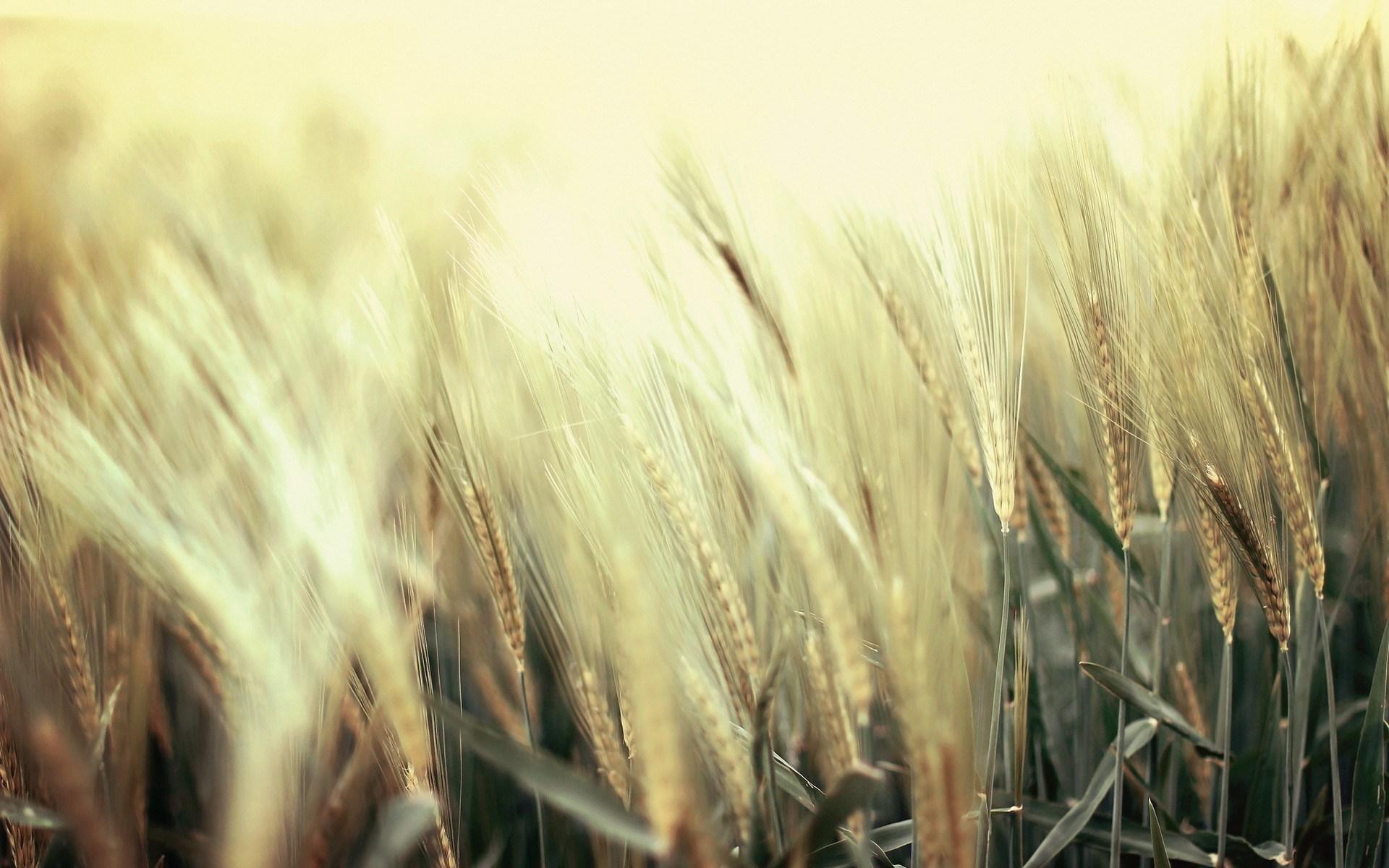 Nature Field Wheat Close-Up
