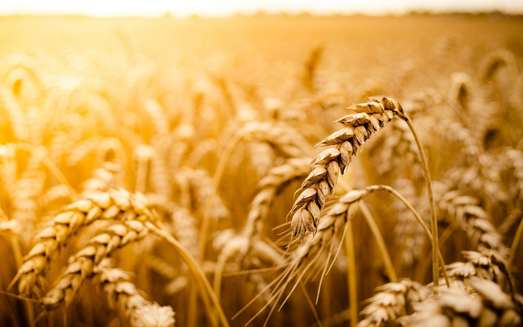 Nature Macro Wheat Field Photo