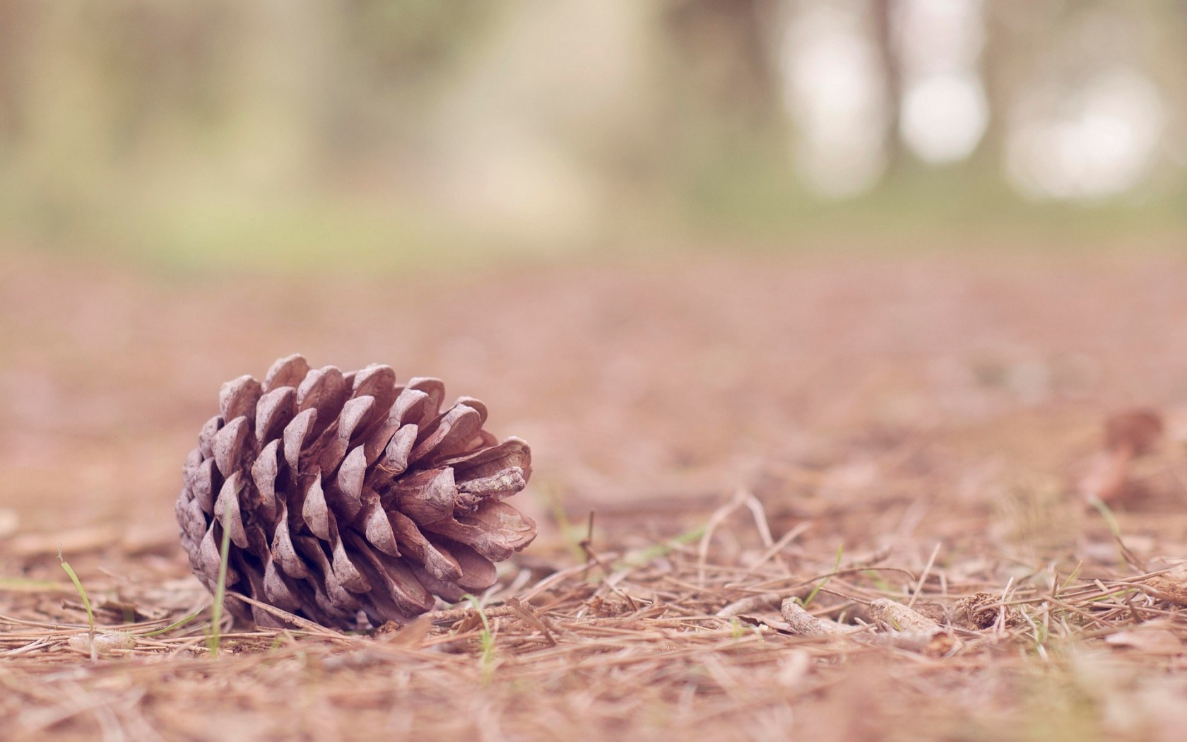 Nature pine cone wallpaper 1680x1050 31141 for Pinecone wallpaper