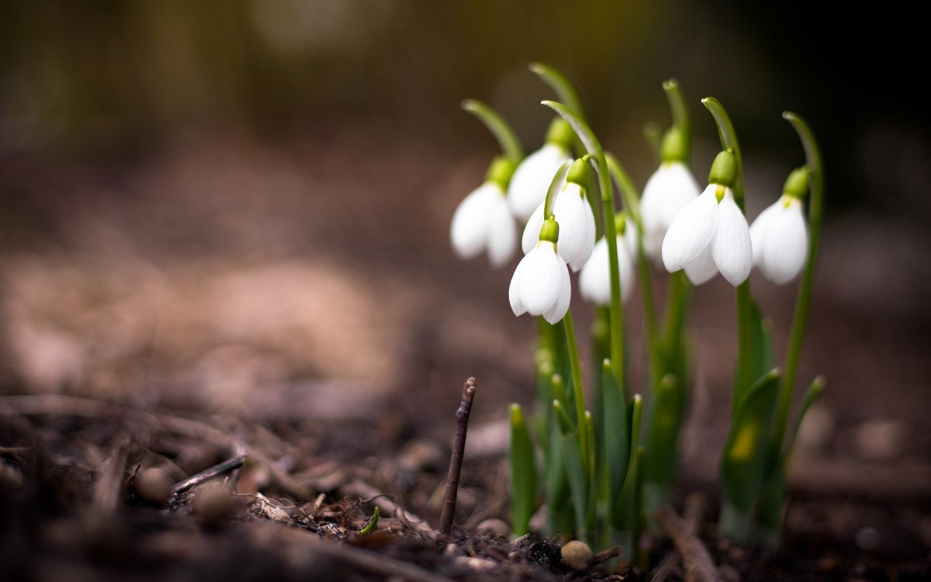 Nature Flowers Spring Snowdrops Macro Photo