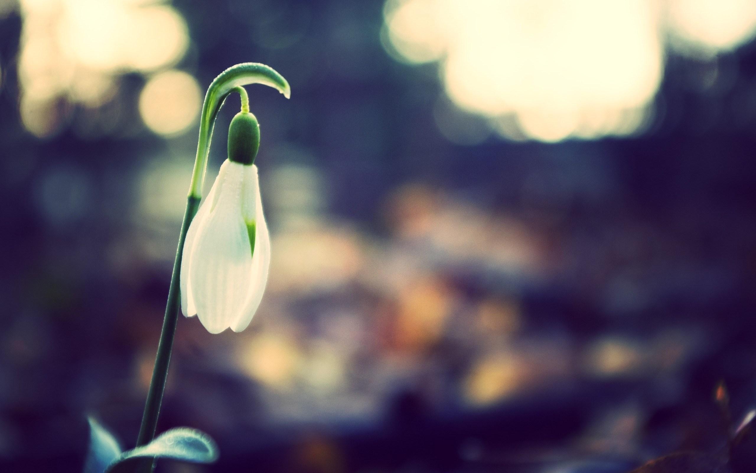 Nature Spring Flower Snowdrop Macro Photo