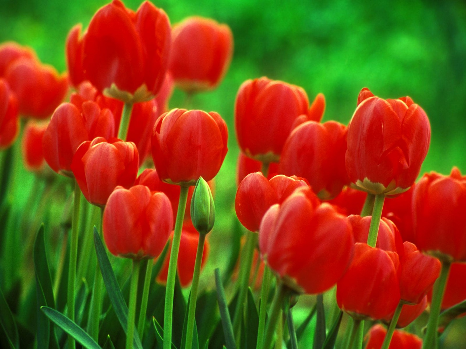 Desktop Wallpaper · Gallery · Nature Tulip flower bulbs