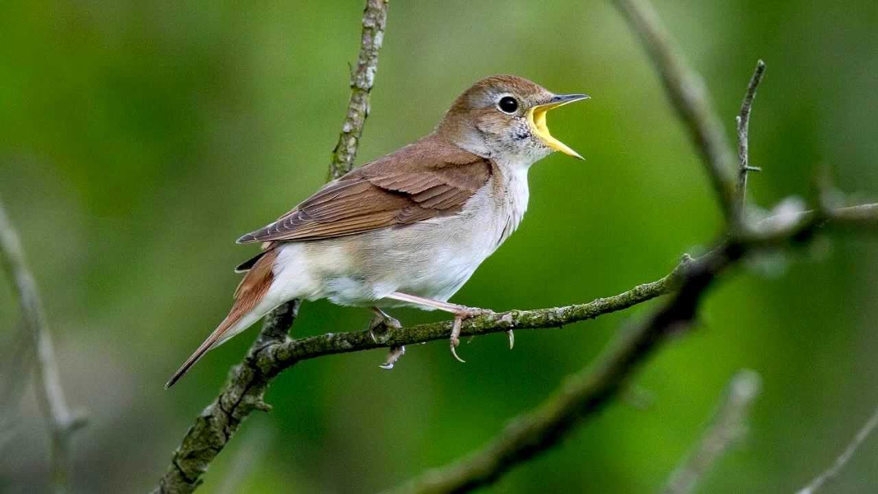 Nightingale ~ Bird Song ~ Nightingale