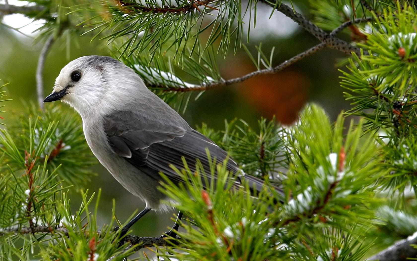 Nightingale-Croatia National Bird