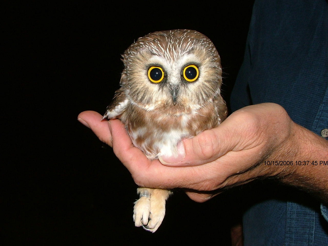 Northern saw w. Northern saw w. Heres another saw whet owl Image