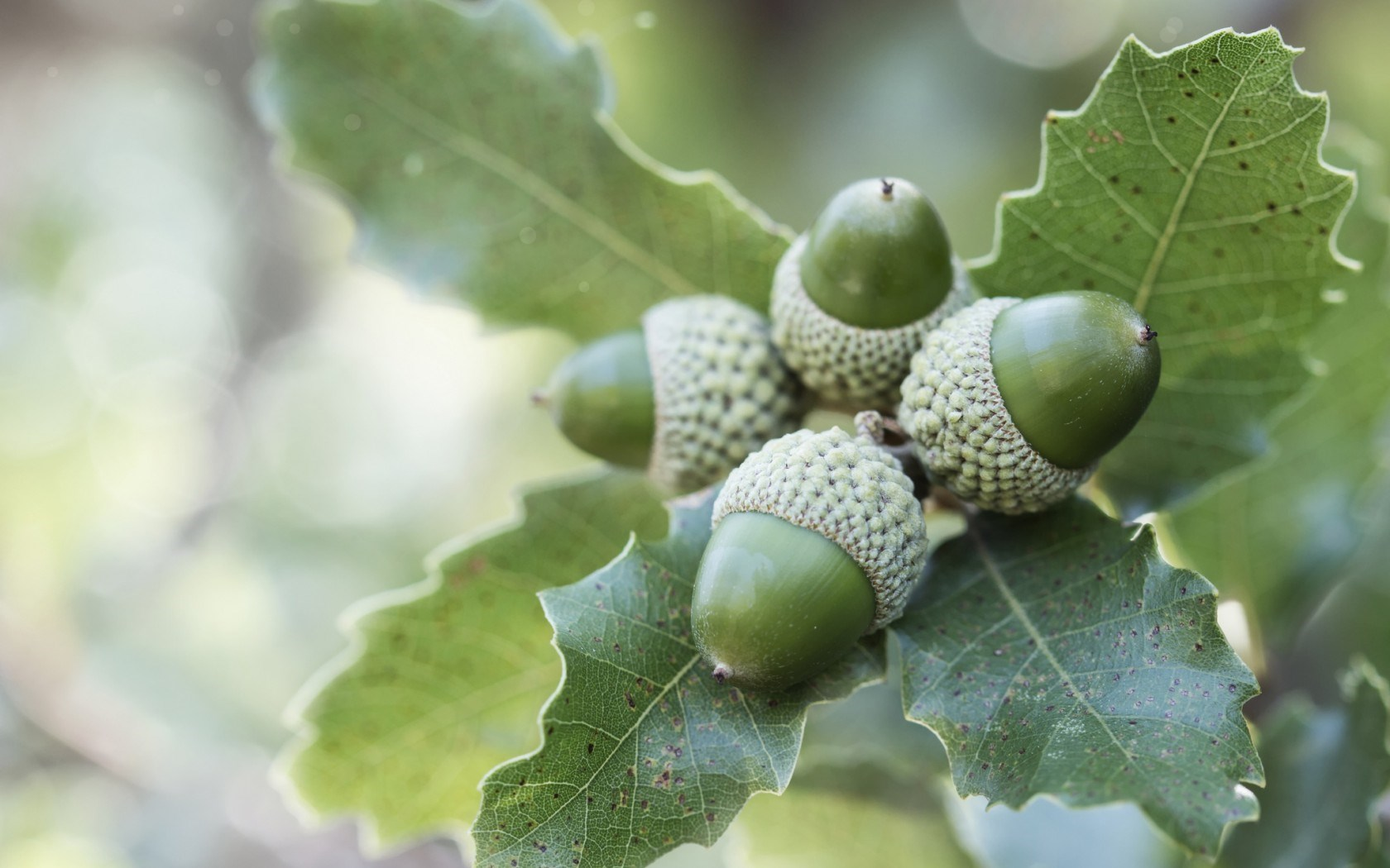 Oak Branches Leaves Acorns Nature