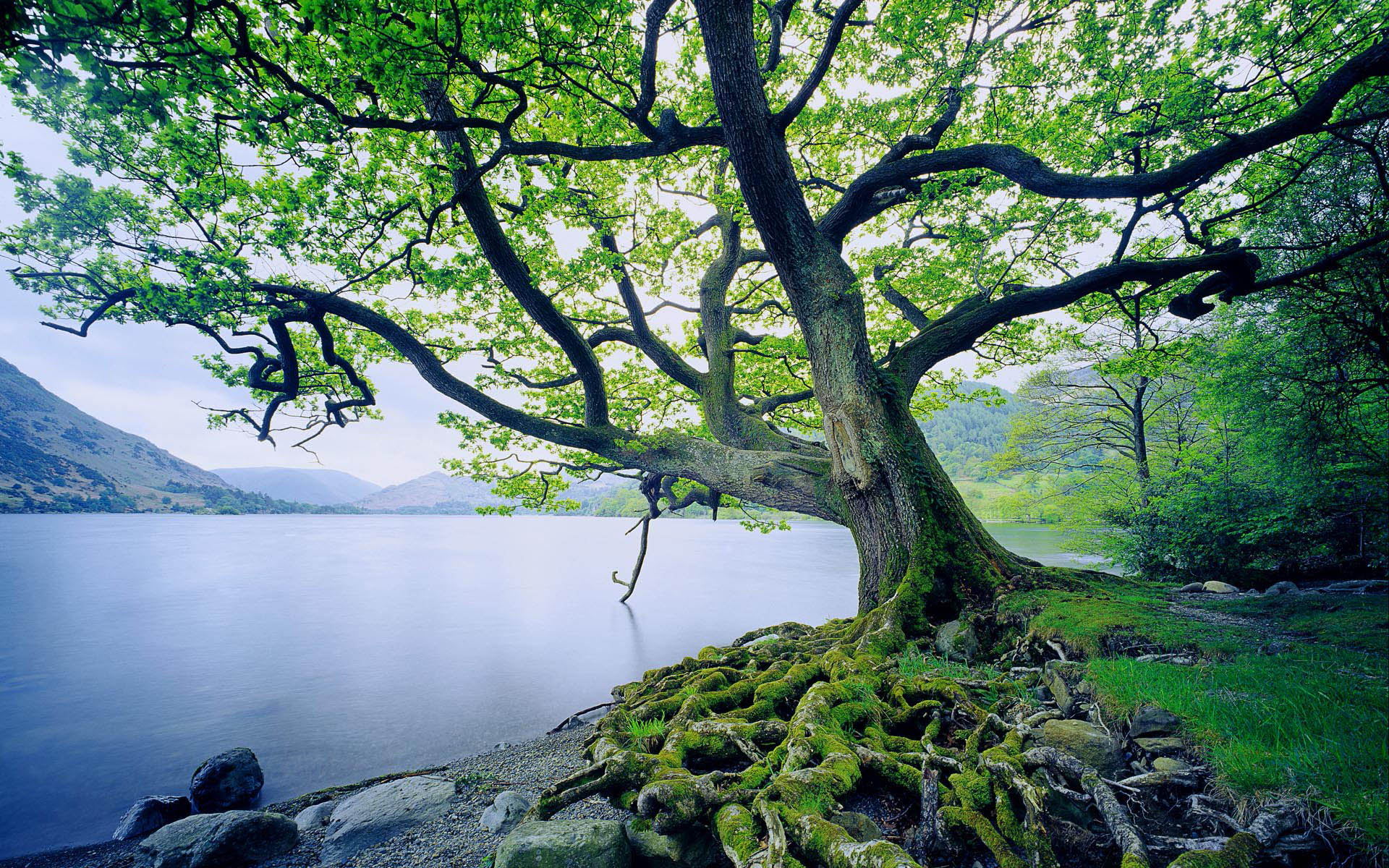 Once your download is complete, you can simply set the Beautiful Oak Tree 32967 as your background.