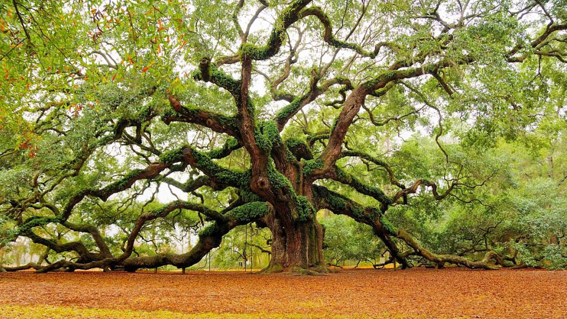 Oak Tree HD