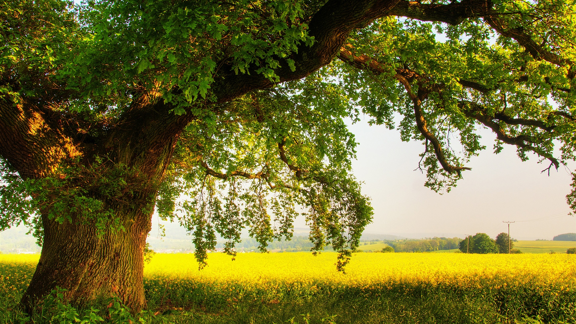 Oak Tree Wallpaper HD