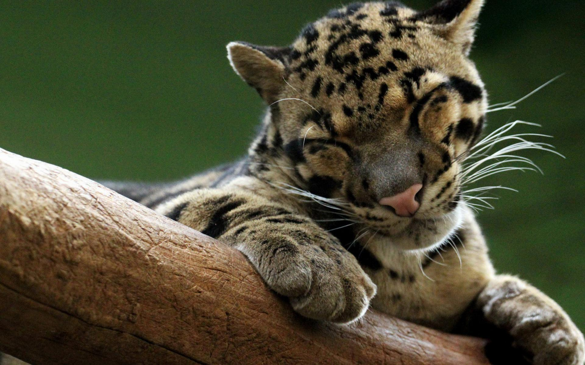 wild cats wallpaper collection - photo #10
