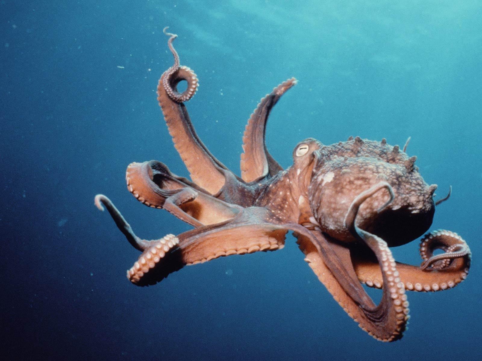 free Octopus wallpaper wallpapers download