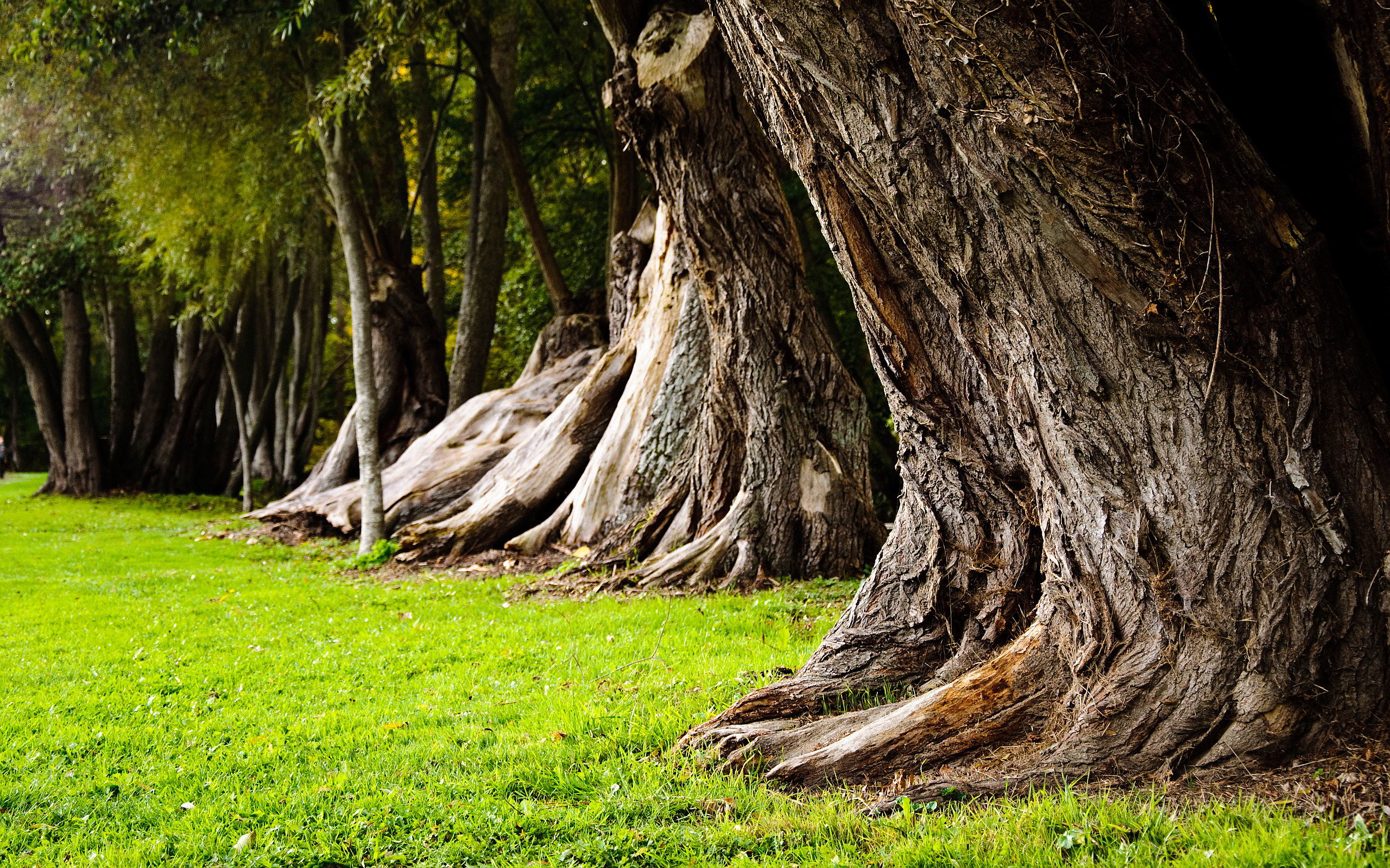 Old Tree Trunks