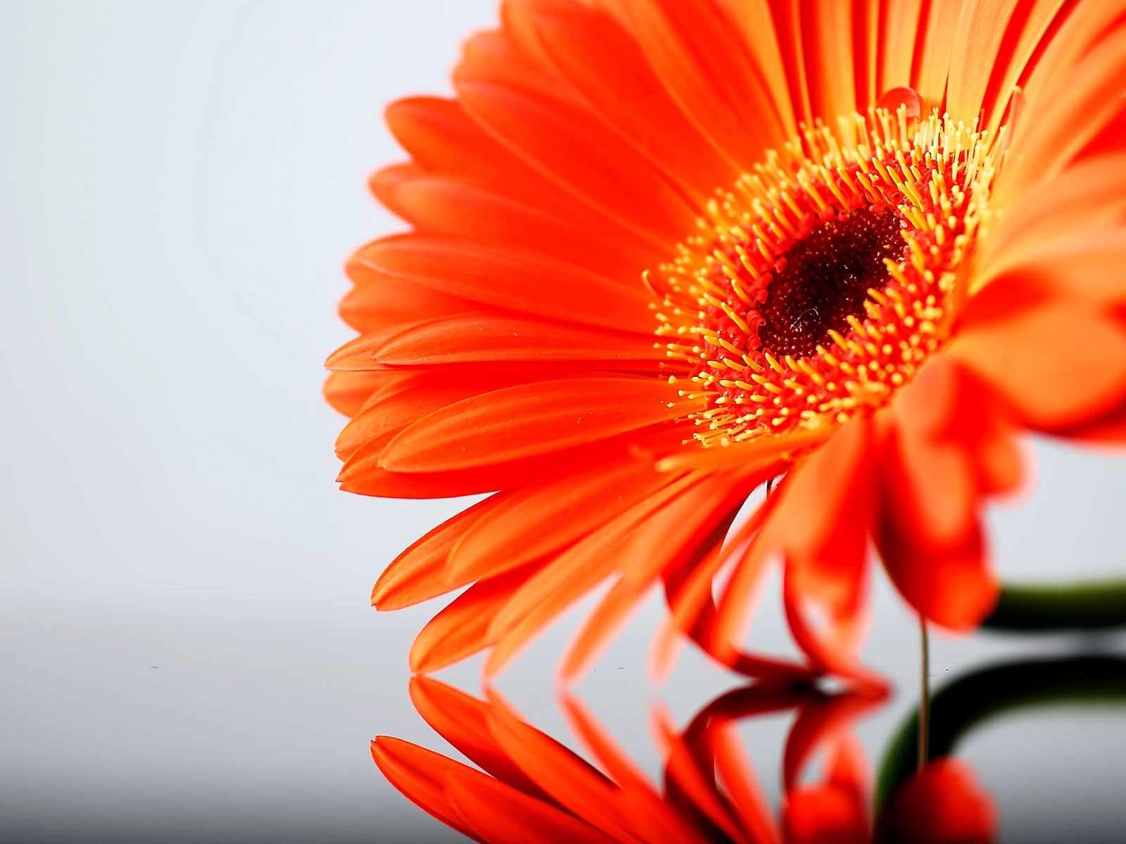 Orange Daisy Flower Photo
