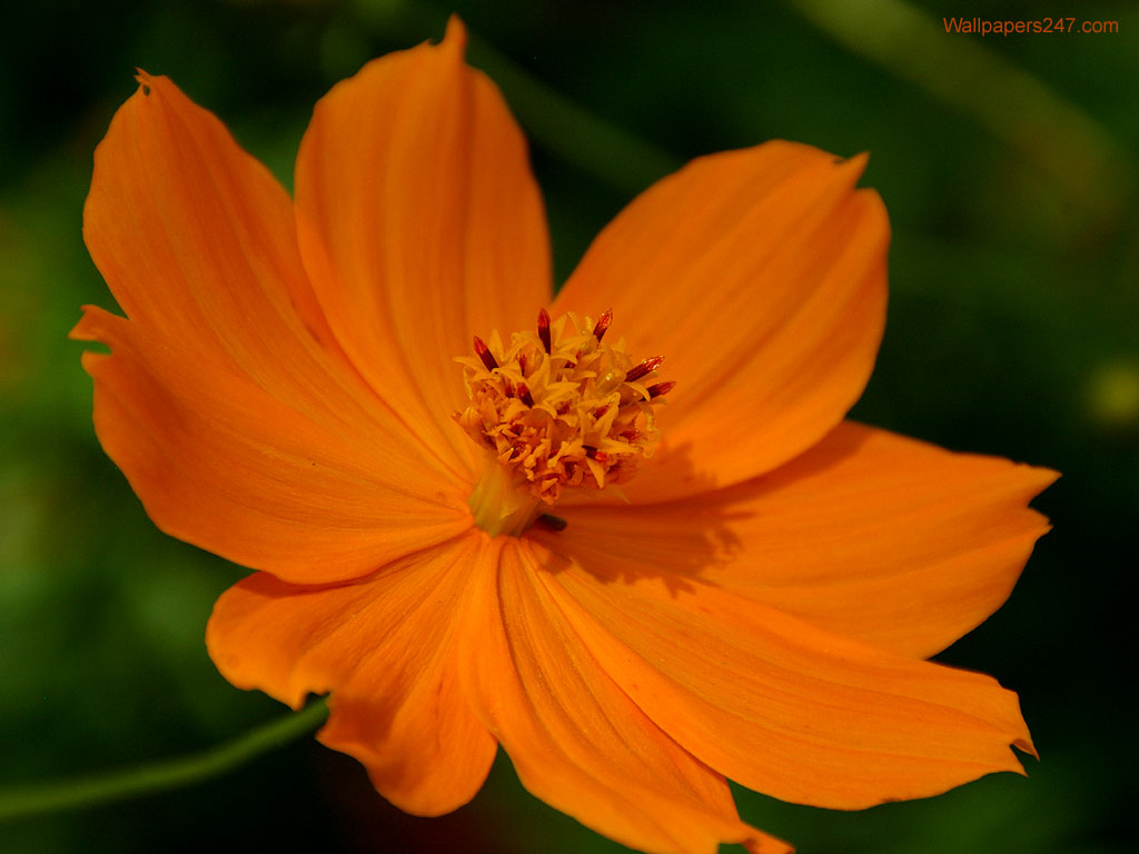 orange flower wallpaper  x, Beautiful flower