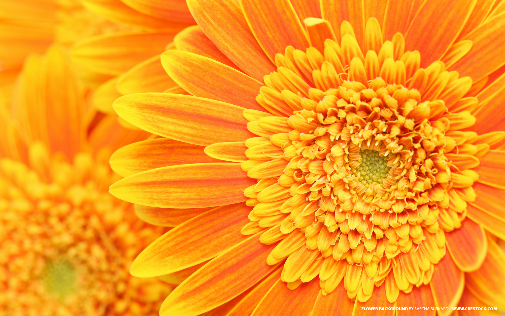 Flowers And Plants Orange Flower Background
