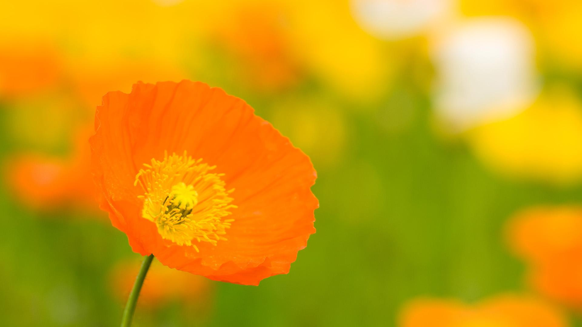 Orange Flowers Wallpaper ...