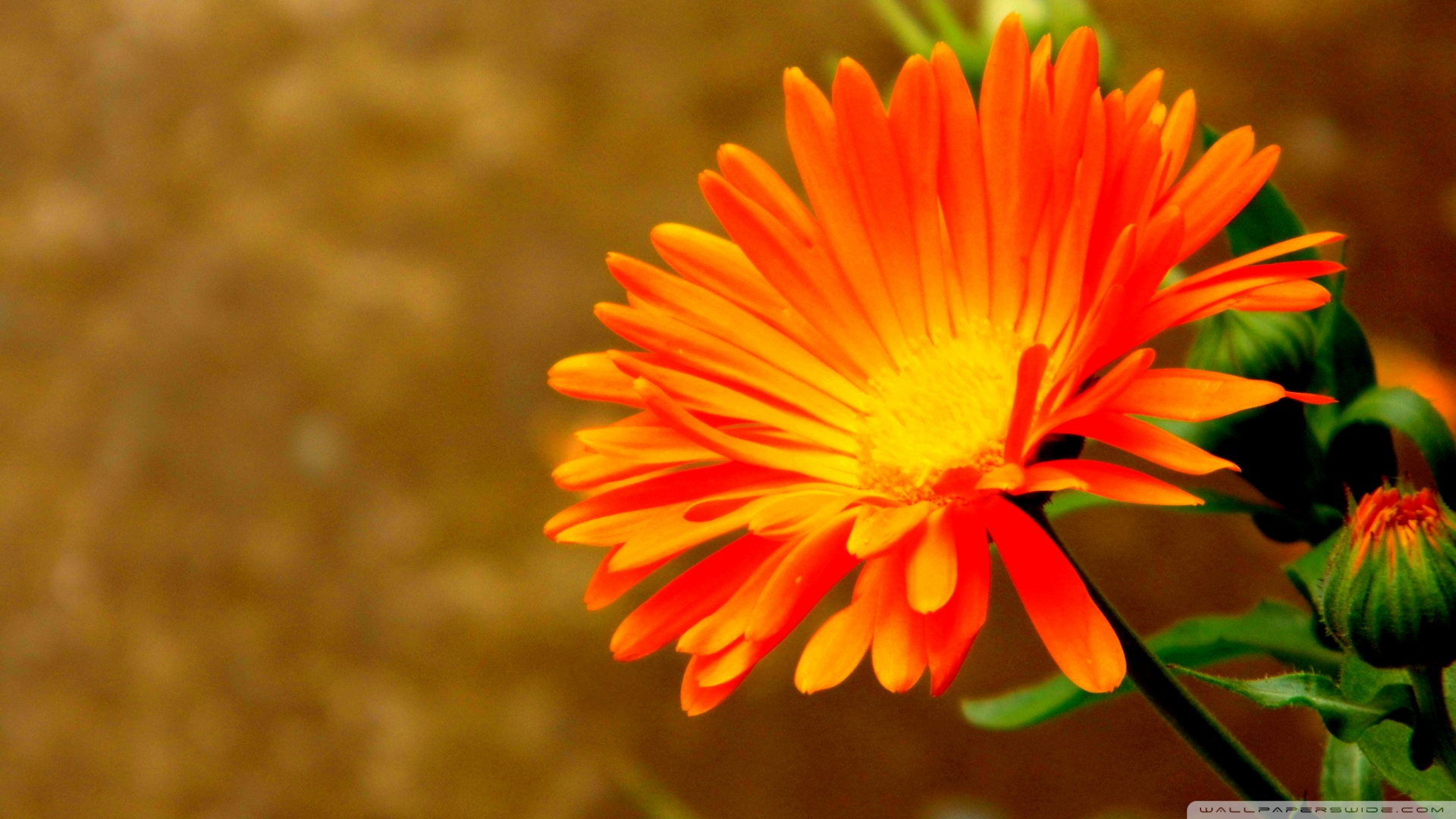 1920x1080 Orange Flower 5 wallpaper