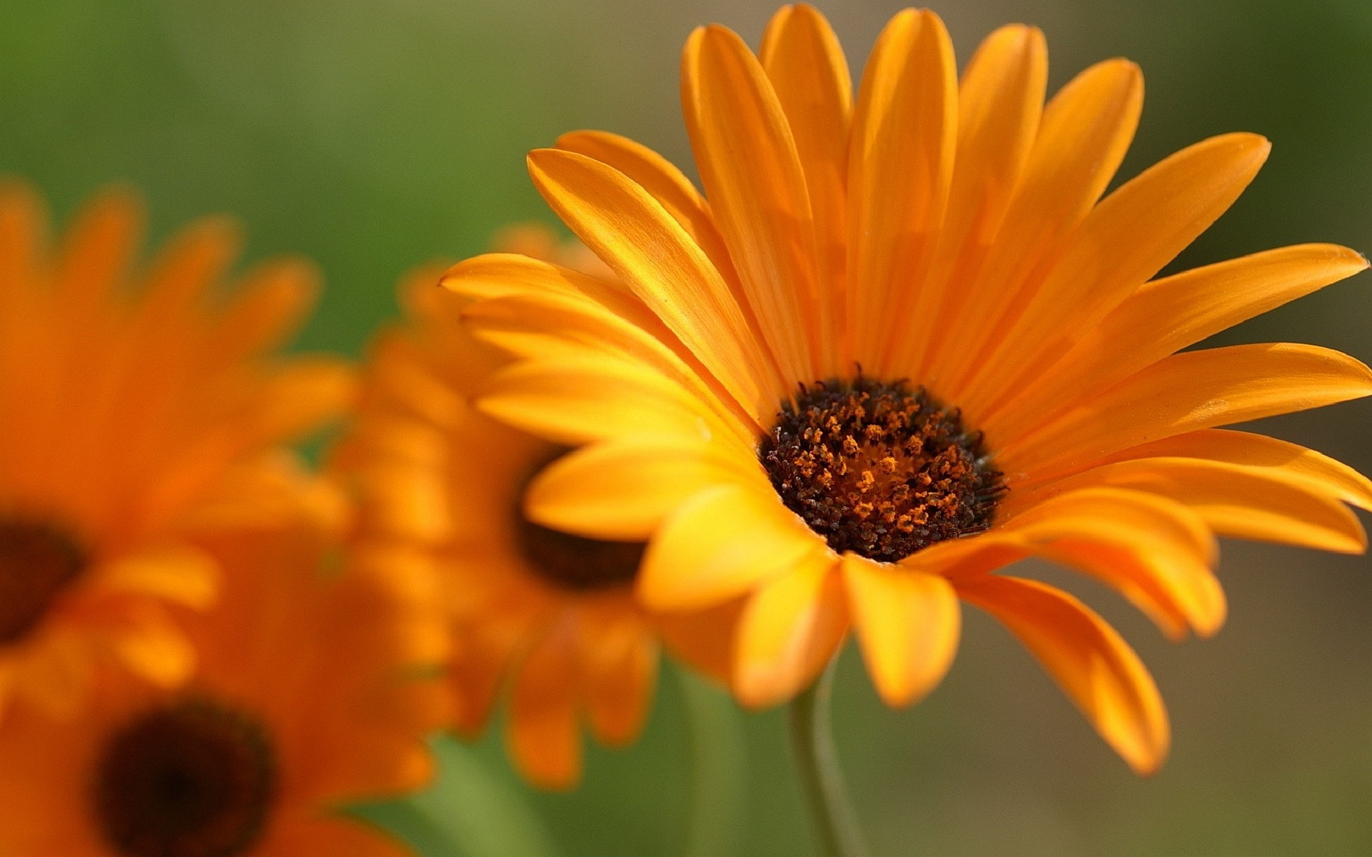 Free Orange Flowers Wallpaper