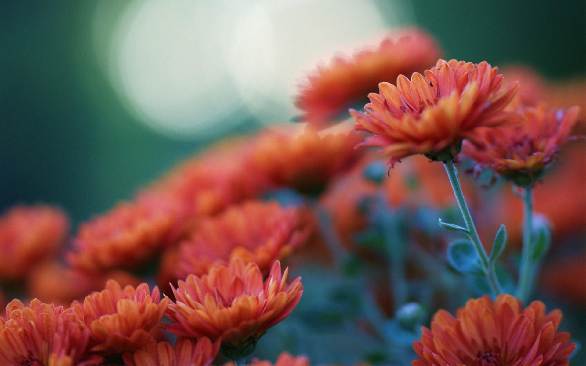 Orange Flowers Chrysanthemums Blur Photo