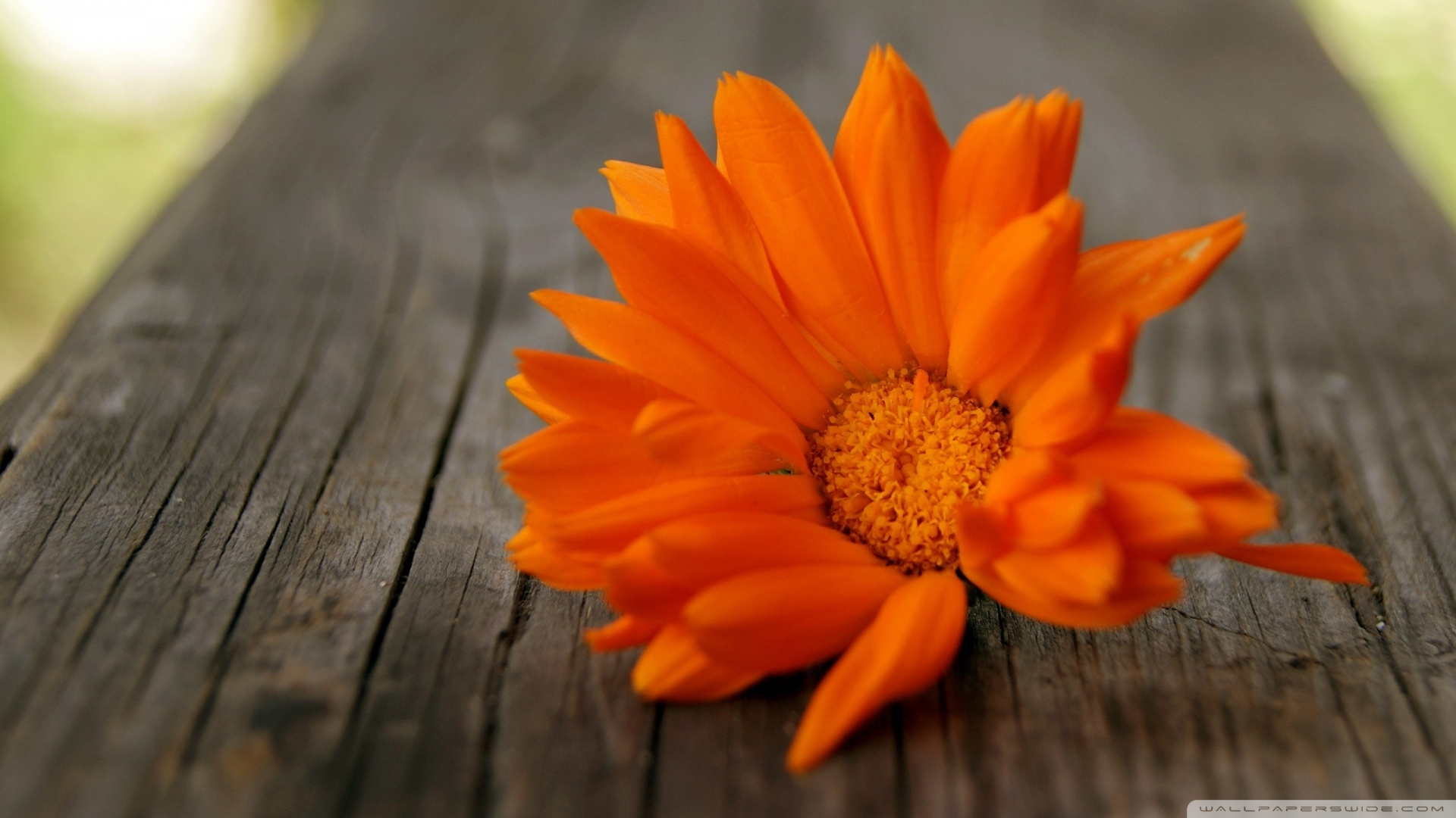 Orange Flowers HD