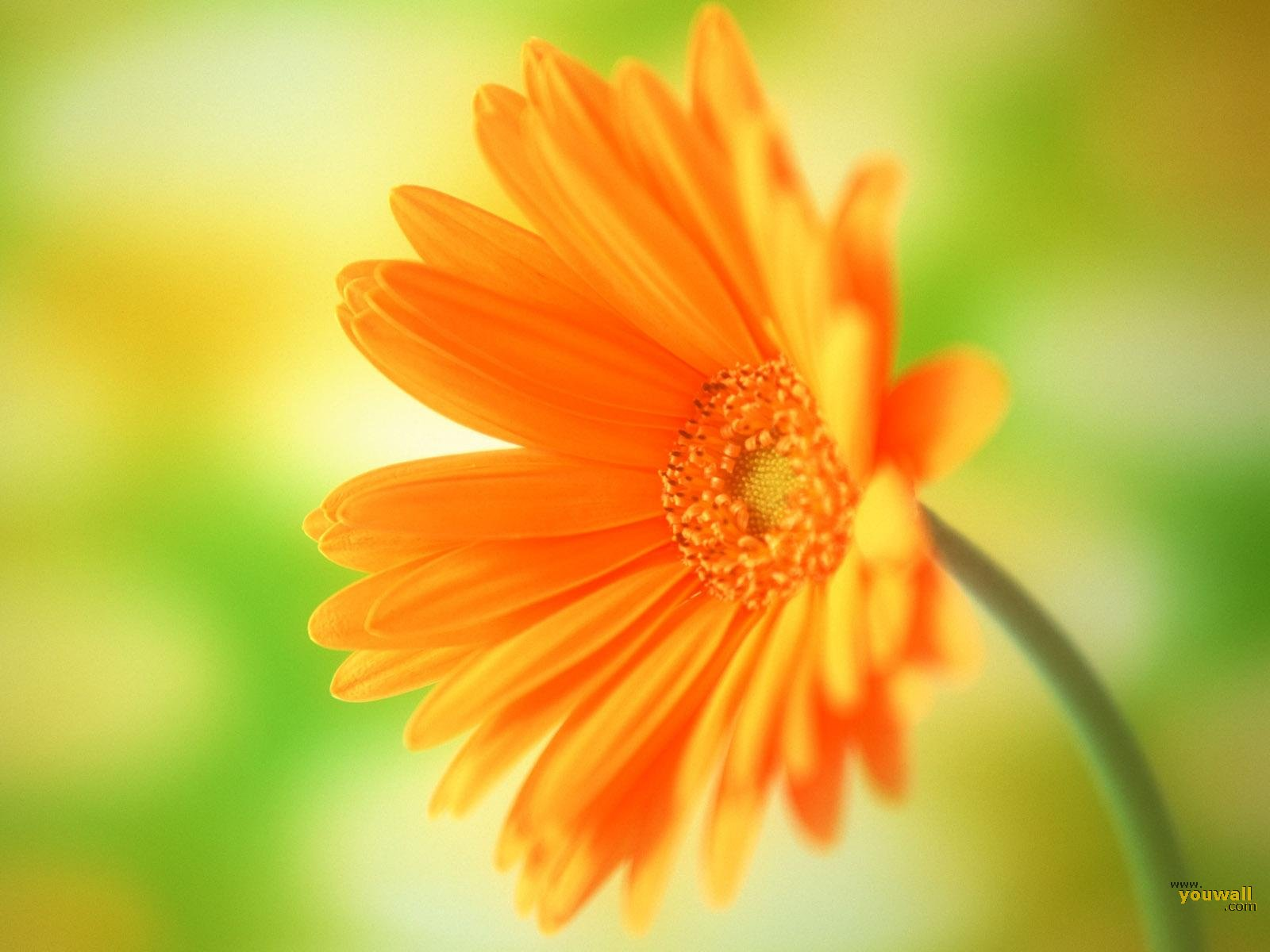 Orange Flower Wallpaper