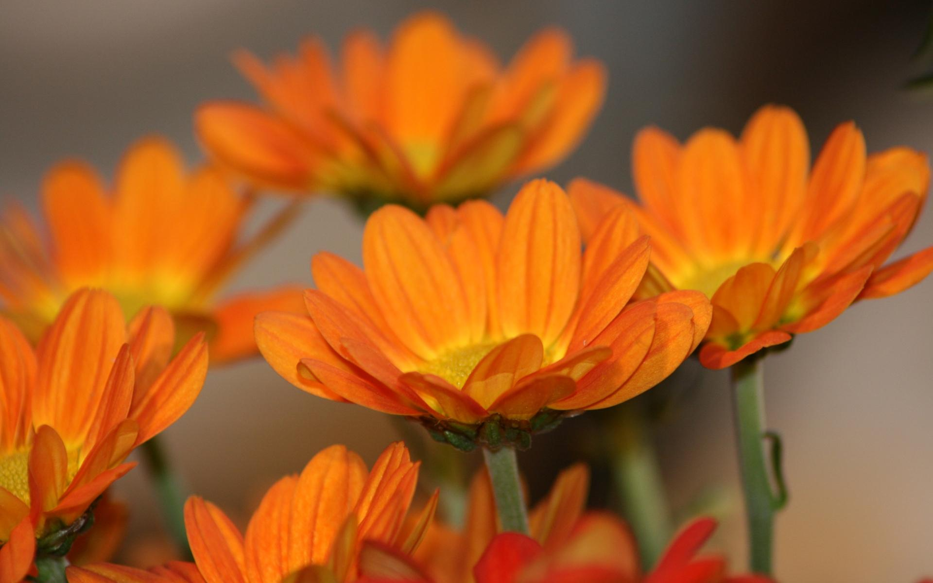 Orange Flowers Wallpaper