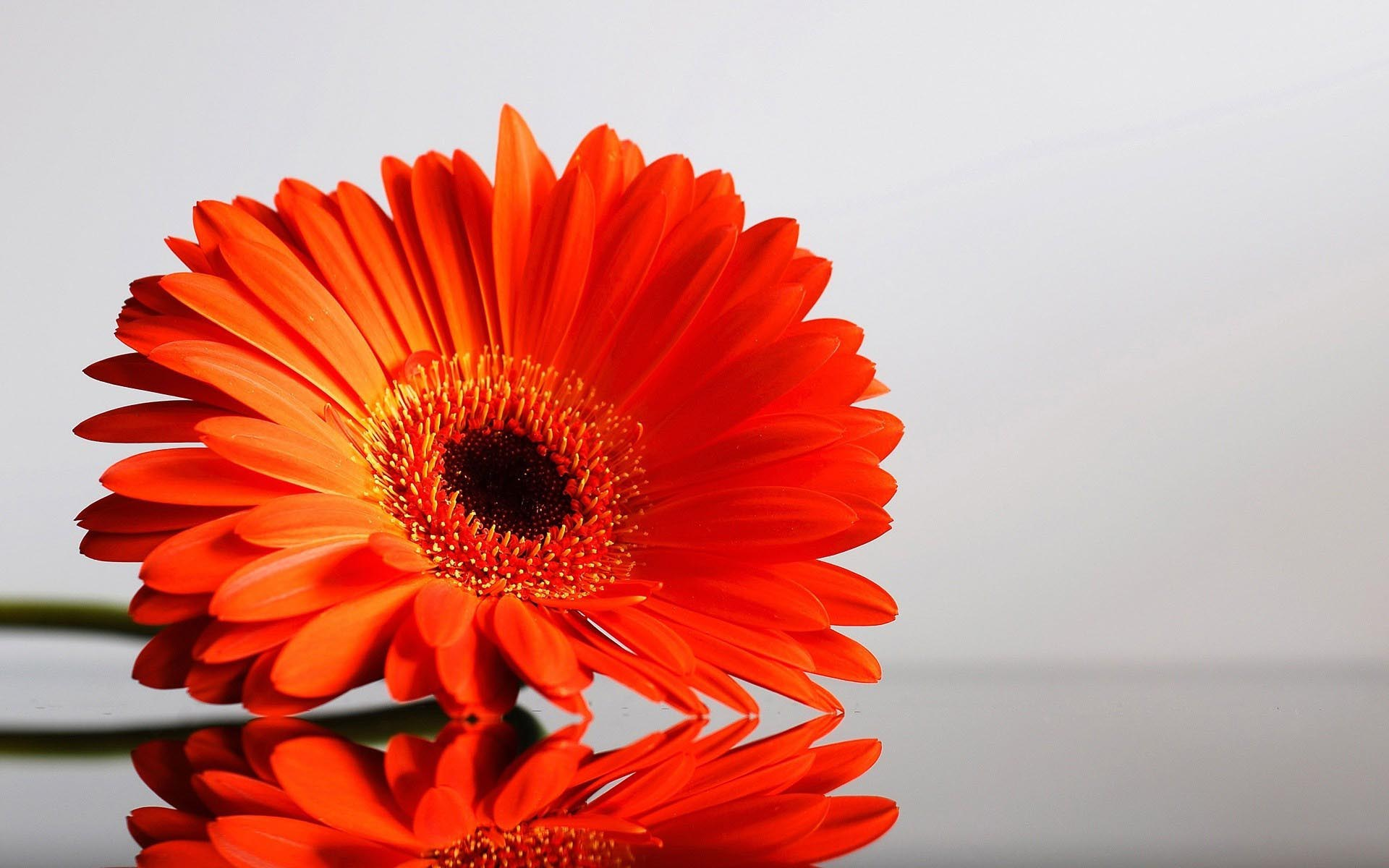Flower Orange Gerbera Wallpaper 1920×1200