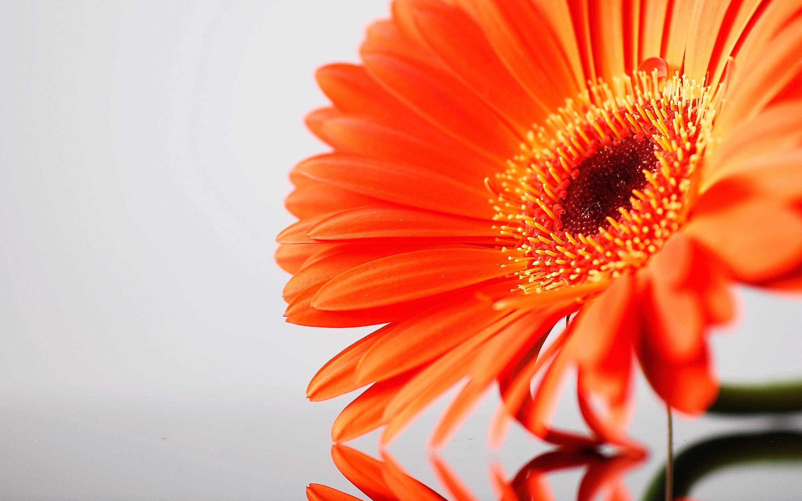 Orange Gerbera Petals