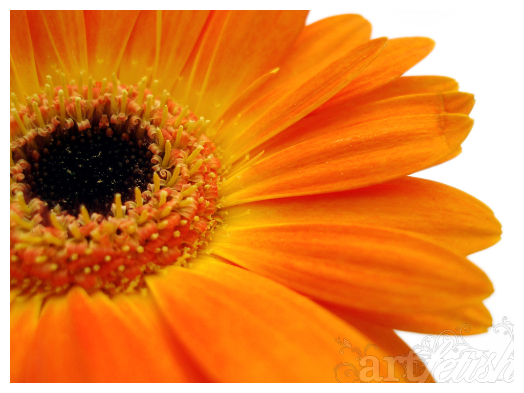 orange gerberas by artFETISH ...