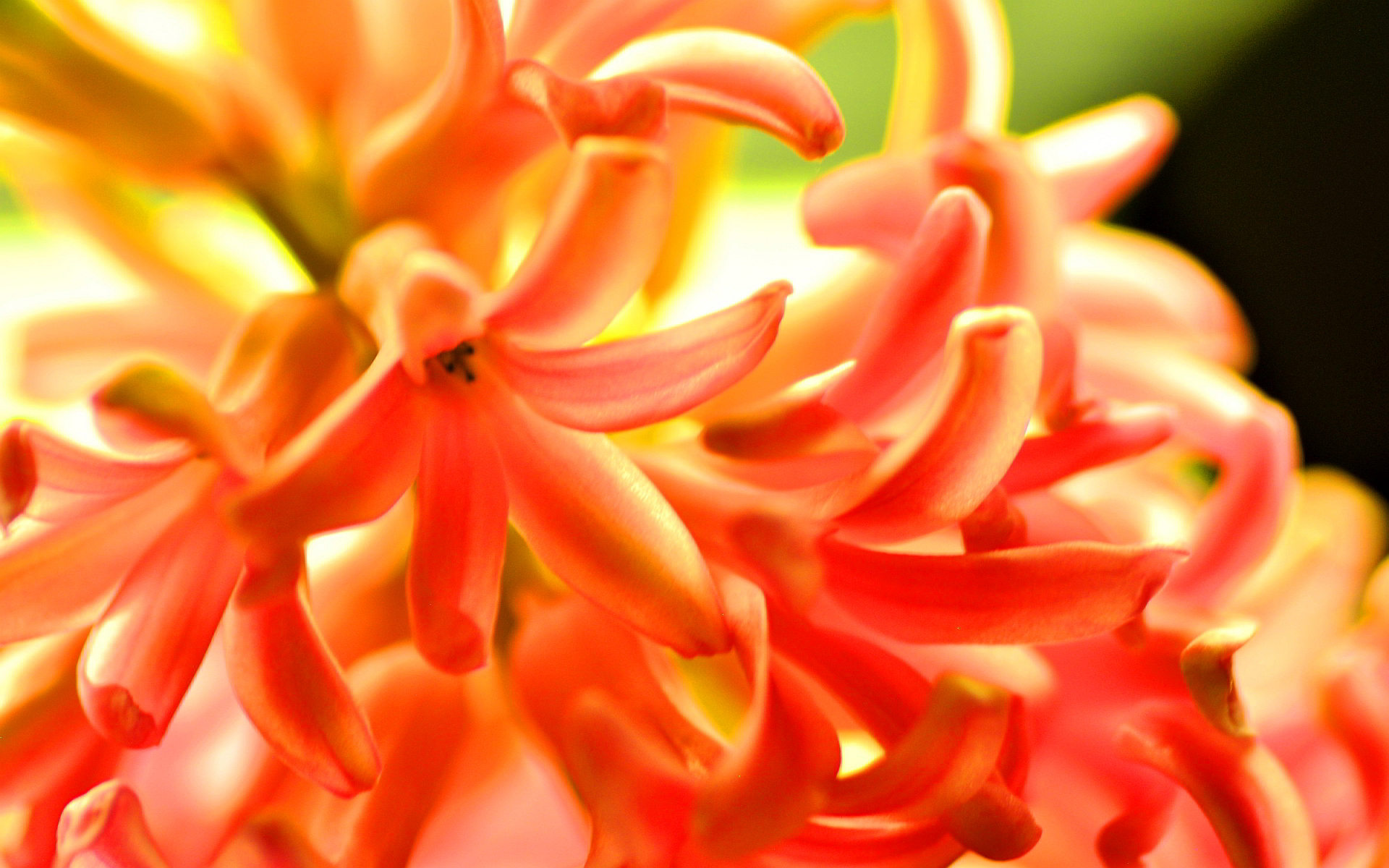 Orange hyacinth