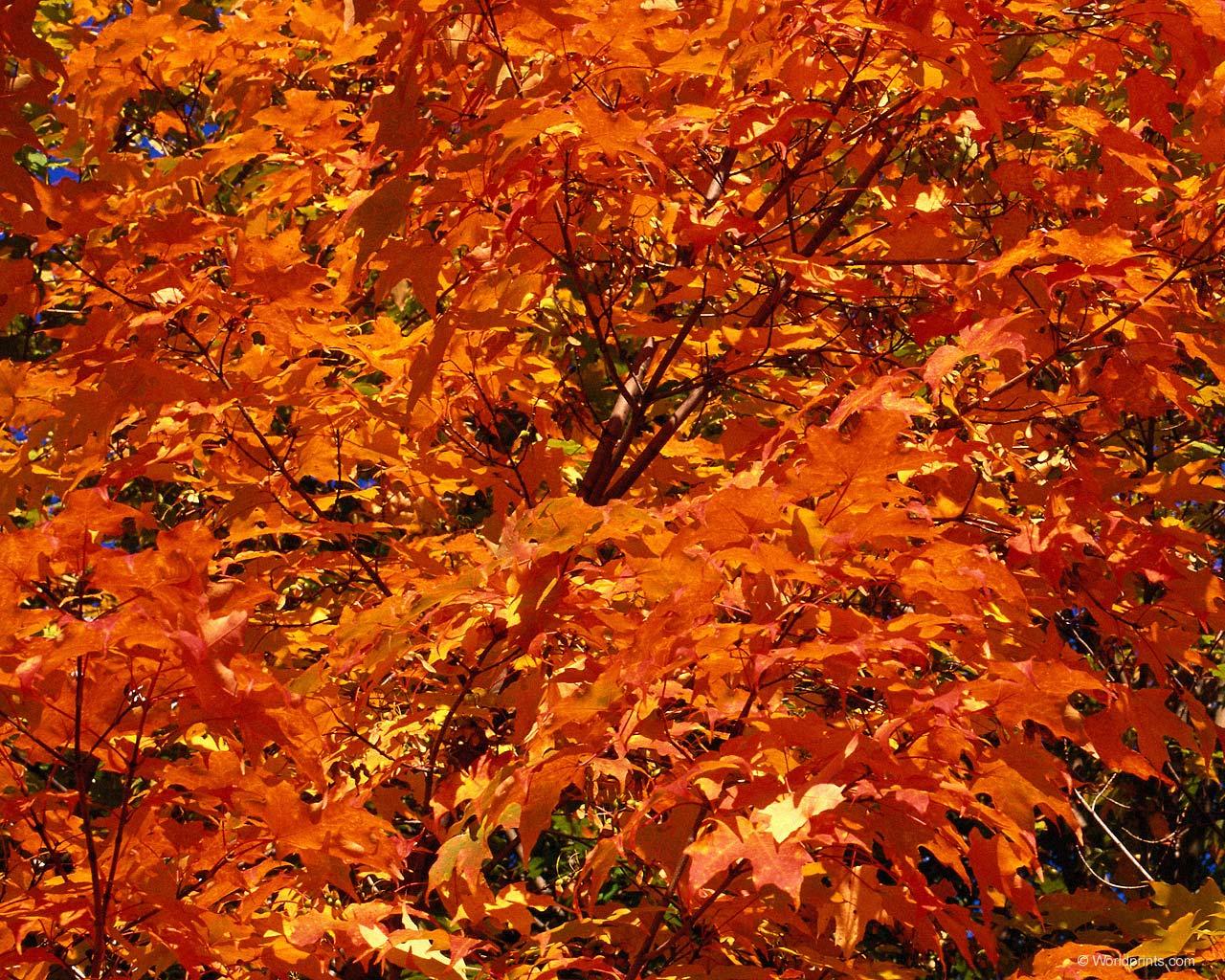 Orange Leaves 33489 1680x1050 px