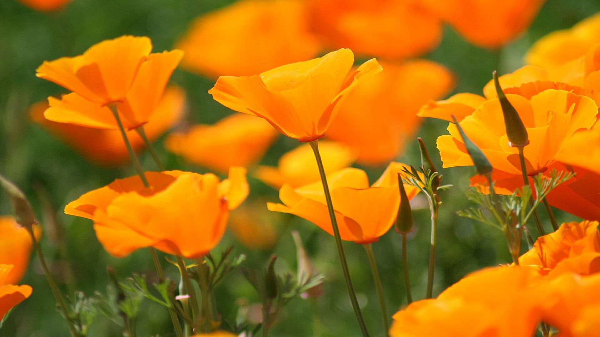 Orange poppies HQ WALLPAPER - (#120432)