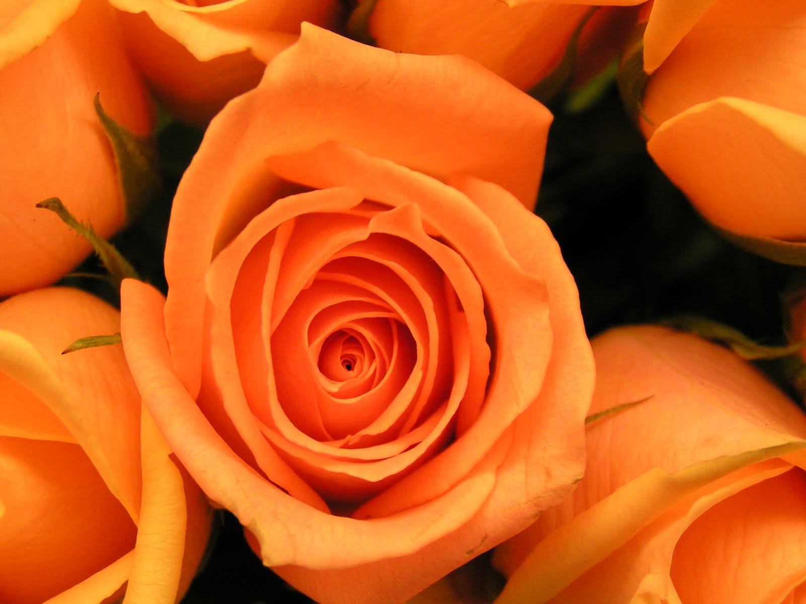 Orange Roses Wallpaper Download Wallpapers 1600x1200px