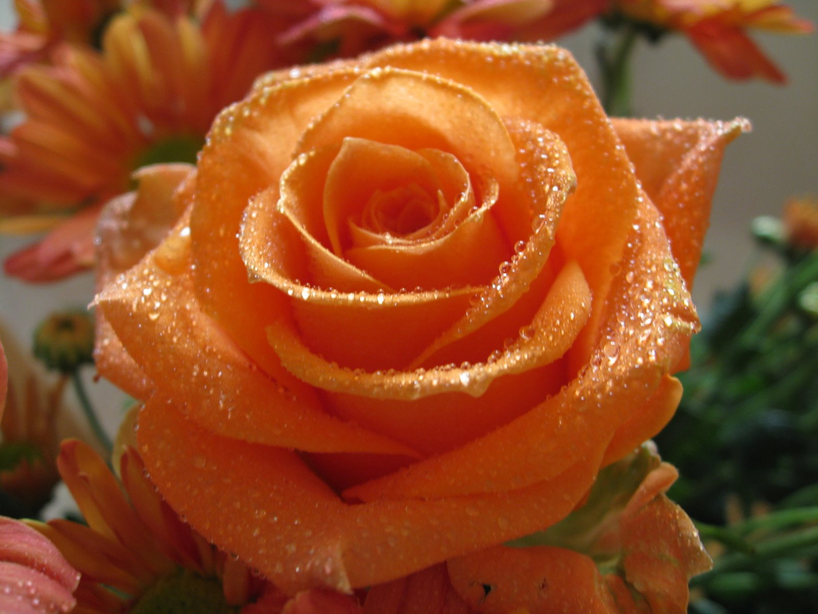rose wallpaper hdtv 1920x1080 Orange Rose 02 ...